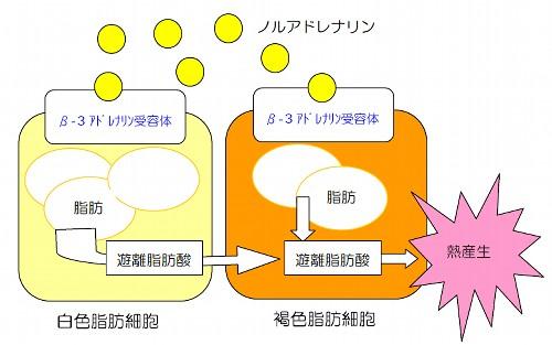 lipose_cell.jpg